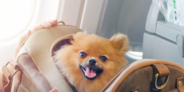 imagen de viajes con mascotas en avion requisitos